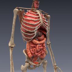Human Anatomy Model, Anatomy Models, Character Modeling, 3d Character, Anatomy Reference, Art Reference, 3d Human, Human Body Systems, Medical Art