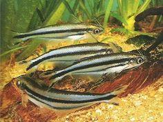 African glass catfish