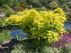 Acer shirasawanum 'Aureum'   (Japanese Maple) - This outstanding maple has eye-catching soft golden-yellow leaves with hanging, coral red flowers in spring. In autumn the leaves turn to beautiful shades of pink and orange. The leaves are also delightful in spring as they emerge when they are said to glow with colour.    This is an excellent standalone plant for nearly any garden and can also be grown in a large container or pot (if well looked after). Slow growing.