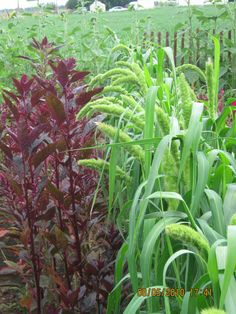 grasses and amaranthus growing on Plum Tree Farm in Idaho