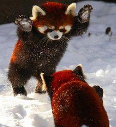 Rare Red Pandas Having Fun In Snow