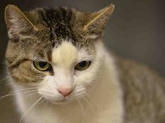 Pulled by Anjellicle Cats Rescue* TO BE DESTROYED 3/9/15 *NYC* Manhattan Center * A volunteer writes: Its hard to stay happy in a shelter but Zona here tries her best. She is petite and sweet and just beautiful. She has those chubby cheeks you just want to squeeze and pinch. Such a gentle soul who would love to be your best fluffy friend. *  My name is ARIZONA. ID # is A1028484. I am a female white and brn tabby dom sh mix. I am about 3.  I came in as a STRAY on 02/21/2015 from NY 10469
