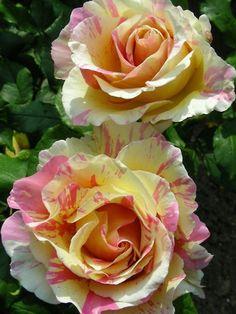 Garden beauties...Claude Monet, I believe...yellow / pink roses