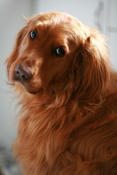 Astonishing Everything You Ever Wanted to Know about Golden Retrievers Ideas. Glorious Everything You Ever Wanted to Know about Golden Retrievers Ideas. Beautiful Dogs, Animals Beautiful, Cute Puppies, Dogs And Puppies, Pet Dogs, Dog Cat, Animals And Pets, Cute Animals, Photo Chat
