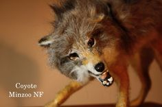 Coyote sculpture, felted coyote, needle felting, fighting Coyote, wild animal, faux taxidermy, Needle felting animal