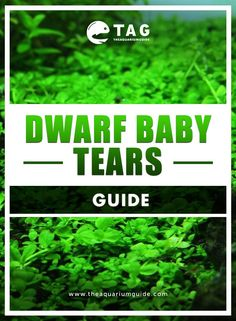 Dwarf Baby Tears, also known as Hemianthus Callitrichoides in aquarium literature, is one of the most popular foreground plants for planted aquariums. Freshwater Aquarium Plants, Planted Aquarium, Aquarium Fish, Dwarf Baby, Fresh Water, Aquascaping, Aquariums, Oregon, Lovers
