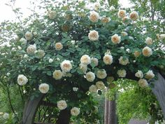 Image result for david austin roses CLAIRE AUSTIN
