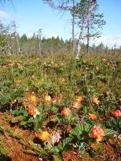 Hjortron in Schweden  www.besuchschweden.de Pumpkin, Fruit, Nature, Outdoor, Finland, Berries, Outdoors, Pumpkins, Naturaleza
