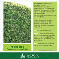 140224-podocarpo-como-cuidar-plantas-jardinagem-paisagismo-acacia-garden-center-horto-rj-chacara-ficha