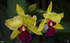 Cattleia orchids   by Alberto Márquez Marín