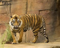 Chinese Tiger, Full Body, Google, Image, Total Body Workouts