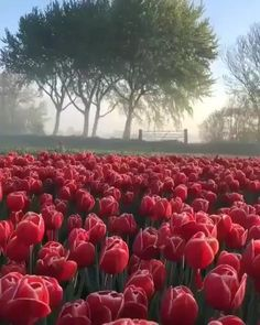 Watch and share A Sun Setting Over A Field Of Tulips In The Netherlands GIFs by tothetenthpower on Gfycat Red Tulips, Tulips Flowers, Yellow Flowers, Beautiful Flowers, Bright Flowers, Beautiful Images, Tulip Fields Netherlands, The Netherlands, Belle Image Nature