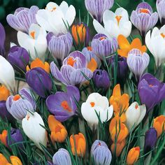 Crocus Flowers Meanings The symbolic meaning of crocus flowers is cheerfulness, youthful gladness and ABUSE NOT.