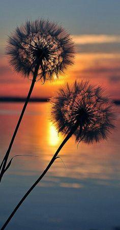Pic of the Day...Promise ------------------ #beach #dandelion #sunset #sundown #beaches