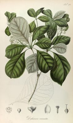 1835-48.t. 1 - Rumphia, sive, Commentationes botanicæ¦ imprimis de plantis Indiæ¦ Orientalis - Biodiversity Heritage Library