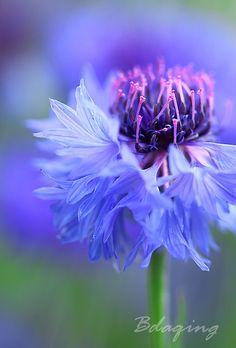 Cornflower - also known as Bachelor button petals Exotic Flowers, Amazing Flowers, My Flower, Purple Flowers, Flower Power, Beautiful Flowers, Cactus Flower, Beautiful Gorgeous, Yellow Roses