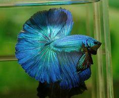 Flickr Betta Fish Types, Pet Fish, Halfmoon Betta, Fish Tank, Pets, Green, Shop, Blue, Animals
