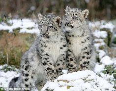 images of snow leopards | Snow leopard cubs get acquainted with real snow for the first time