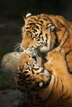 Sumatran Tigers Kissing