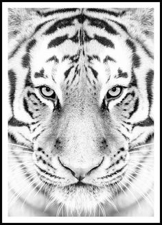 Tiger face - Find your favorite prints at Poster Store Tiger Poster, Elephant Poster, Lion Poster, Tigers Live, Blue Tigers, Black And White Posters, Black And White Portraits, Enchanted Forest Prom, Poster Store