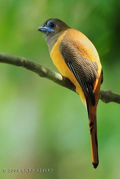 Red-naped Trogon (female)