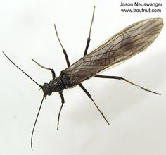 Female Strophopteryx fasciata (Mottled Willowfly) Stonefly Adult from the Namekagon River in Wisconsin,  Aka Brown Stonefly