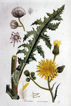 Sonchus arvensis Akkermelk distel