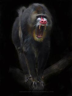 Photo Angry Mandrill by Asa Satria Said on 500px