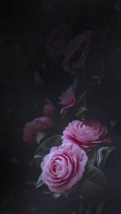 Garden Roses, Pink, Rose, Black Wallpaper for Android [Full HD], Flowers Background and Image Black Flowers Wallpaper, Black Background Wallpaper, Flower Phone Wallpaper, Beautiful Flowers Wallpapers, Rose Wallpaper, Nature Wallpaper, Dark Flowers, Flowers Nature, Pretty Flowers