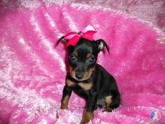 Minpin, too cute!!