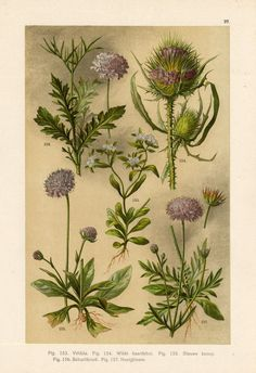 Antique Botanical Print-CORN SALAD-TEASEL-SCABIOUS-1890 ie.picclick.com