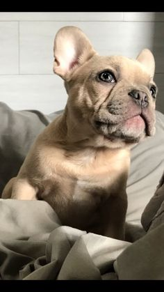 Frenchie, French Bulldog, Puppy #frenchbulldogsclothes