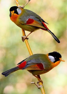 Silver-eared Mesia Thailand Greeting Card for Sale by Oz Horine