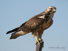 Swainson's Hawks of Southeastern Arizona.