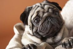 How to Potty Train a Pug in Seven Days