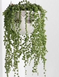 String of Pearls Plant. I love these but then my anti-scraggly gene kicks in and I don't like them anymore.