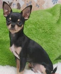 Chihuaua - what Brady wants for Christmas!