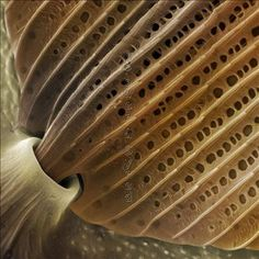 The photo of the underside of a single scale on a butterfly wing, at the point where it attaches to a matrix of precisely angled sockets forming the scaffolding of the wings themselves.  This scale is about 60 microns wide, so the spines running along its length would be a little over 1 micron apart.