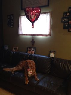 My Golden Retriever Miklo on Valentines  Day