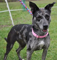 Mandy is a fun Catahoula Leopard Mix. She is only 1 year old and 35 lbs. She loves people, other dogs and toys. She is very active and likes to have fun! She is an all around great dog and loves to run and play! Would make a great running partner or...