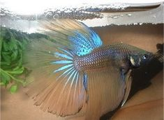 @Rachel Newman Sorry your beta fish didnt look like this :(