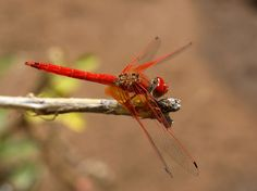 Orange-Winged (Kirby's) Dropwing - Trithemis - One of the most common African dragonflies, this species is of the family Libellulidae. Its natural habitats are tropical or subtropical moist lowland forests, dry and moist savanna, tropical or subtropical dry or moist shrubland, rivers and inland karsts