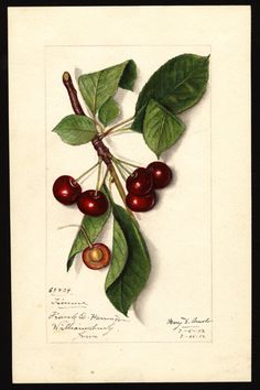 "Cherries  (1913) by Mary Daisy Arnold (circa 1873-1955).Image and text courtesy ""U.S. Department of Agriculture Pomological Watercolor Collection. Rare  and Special Collections, National Agricultural Library, Beltsville, MD  20705"""