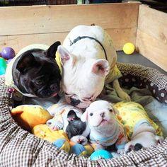 #frenchbulldogs #french #frenchbulldogpuppy #frenchbulldog #instagramdogs…