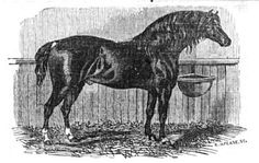 """Illustration of the """"Norfolk Trotter"""" type of horse in 1845—this particular horse, described as a son of 'Young Fireaway,' grandson of 'Old Fireaway,' and as """"a brown bay, rather over fifteen hands high,"""" was eventually """"sent to the West Indies.""""::Norfolk Trotter"""
