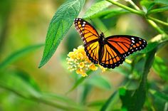 Monarch by d33pak, via Flickr