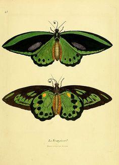 Under estimated beauty of the moth Illustration Botanique, Butterfly Illustration, Nature Illustration, Butterfly Images, Vintage Butterfly, Butterfly Art, Beautiful Bugs, Beautiful Butterflies, Nature Prints