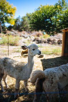 Adorable Alpacas at Los Poblanos Historic Inn and Lavender Farm Albuquerque, The Taste SF #Albuquerque #travel #resort #vacation #newmexico #farm