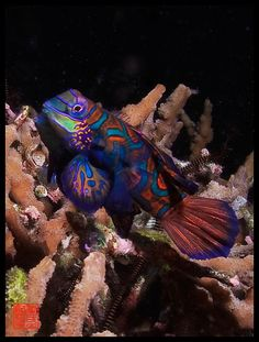 Mating Mandarin Fish by RiCoBie, via Flickr
