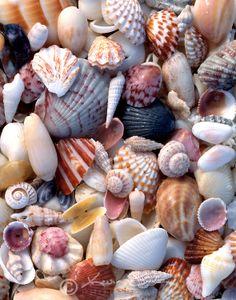 Sanibel Island, Florida Sea Shells